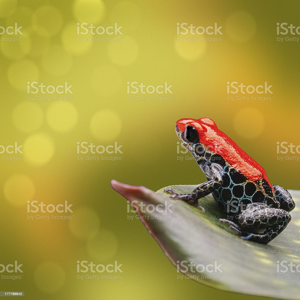 tropical poison dart frog stock photo