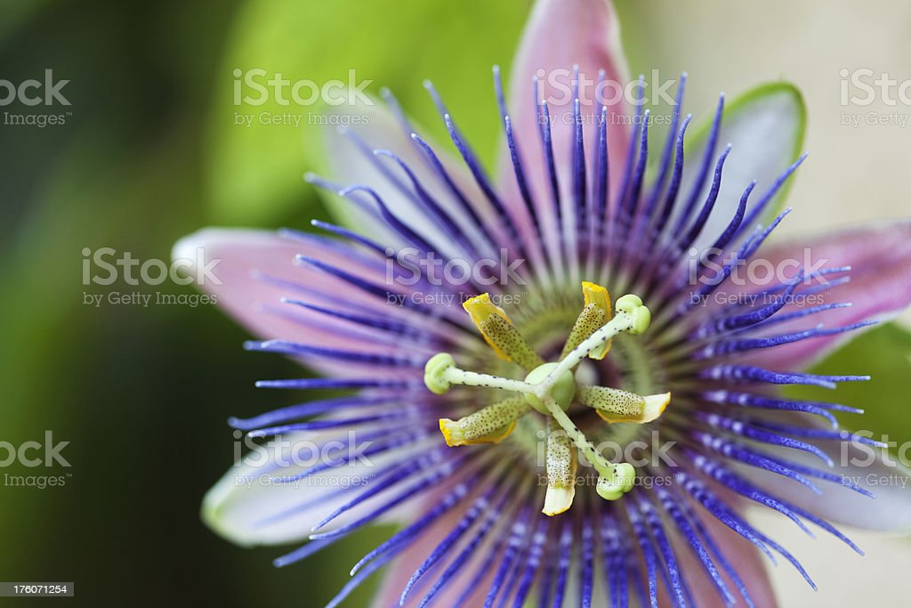 Tropical Purple and Blue Passion Flower, Close up stock photo