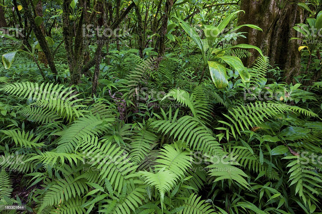 tropical rain forest- maui, hawaii, fern royalty-free stock photo