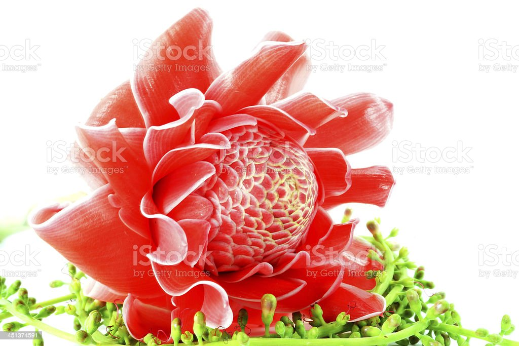 Tropical Red flower of etlingera elatior royalty-free stock photo