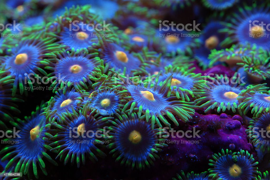 Tropical reef coral zoanthid stock photo