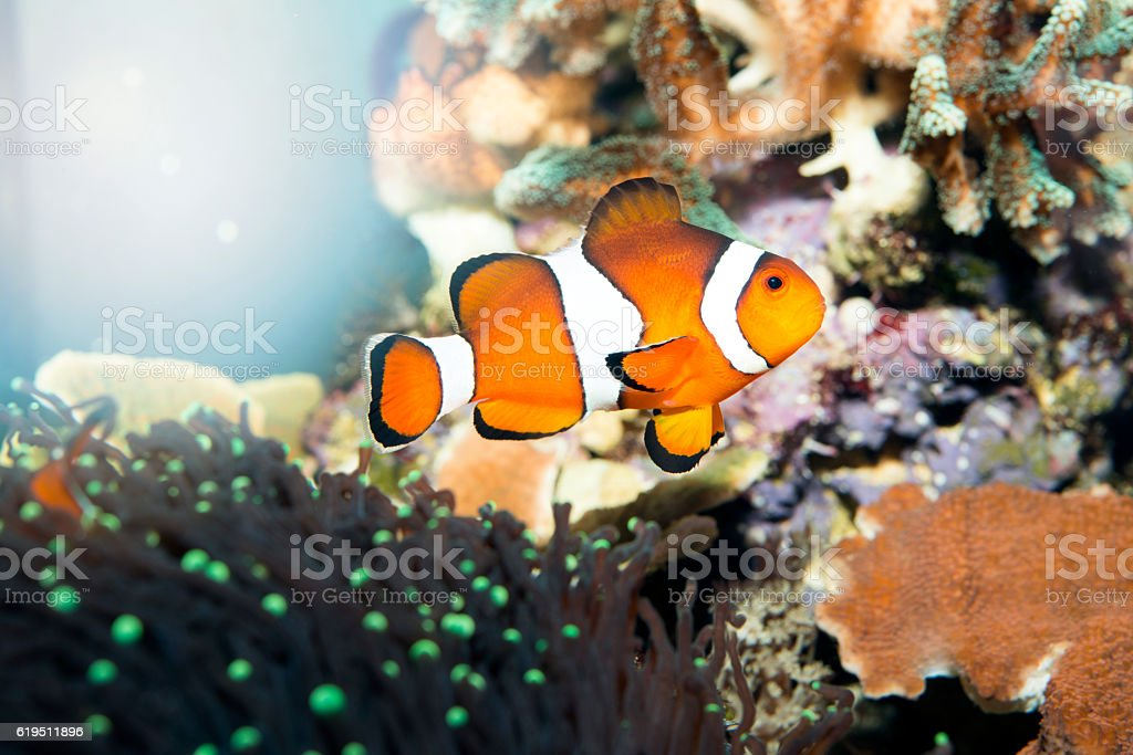 Tropical reef fish - Clownfish stock photo