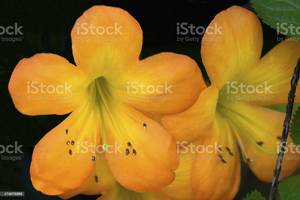 Tropical Rhododendron stock photo