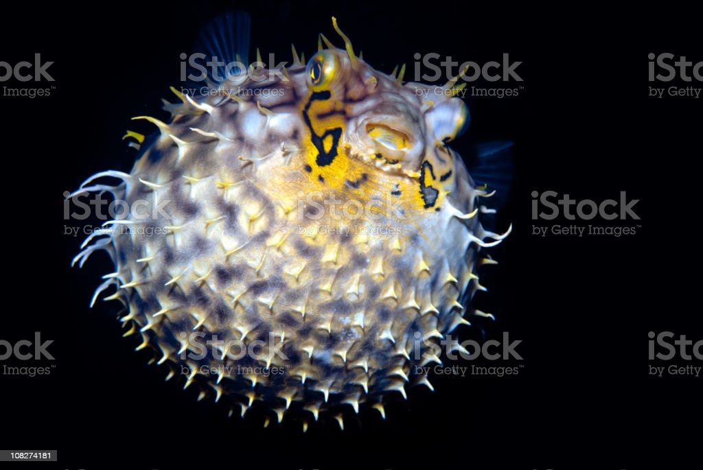 Tropical salt water fish Striped burrfish (Chilomycterus schoepfi) royalty-free stock photo