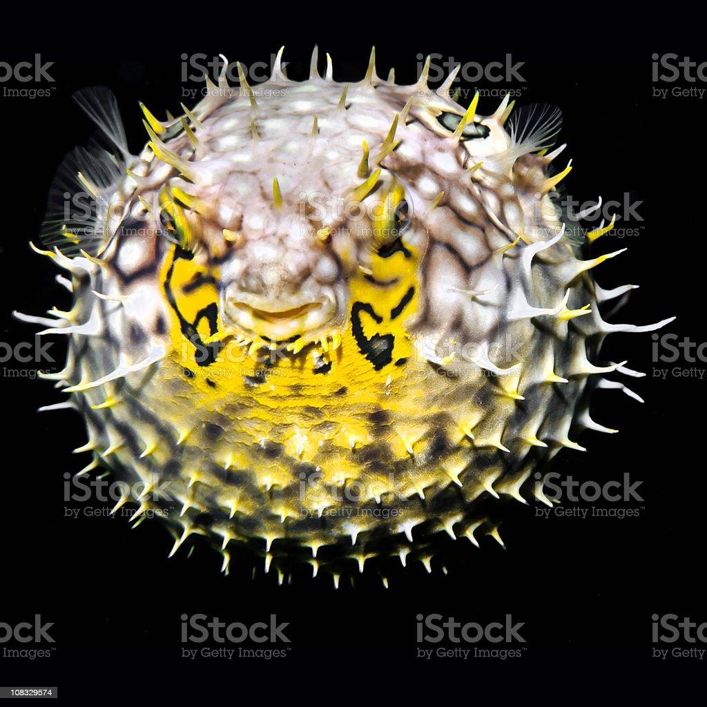 Tropical salt water fish Striped burrfish (Chilomycterus schoepfi) stock photo