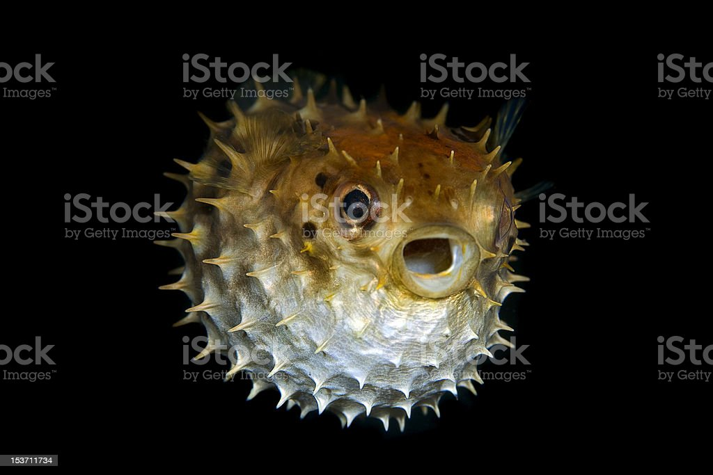 Tropical salt water fish Striped burrfish stock photo