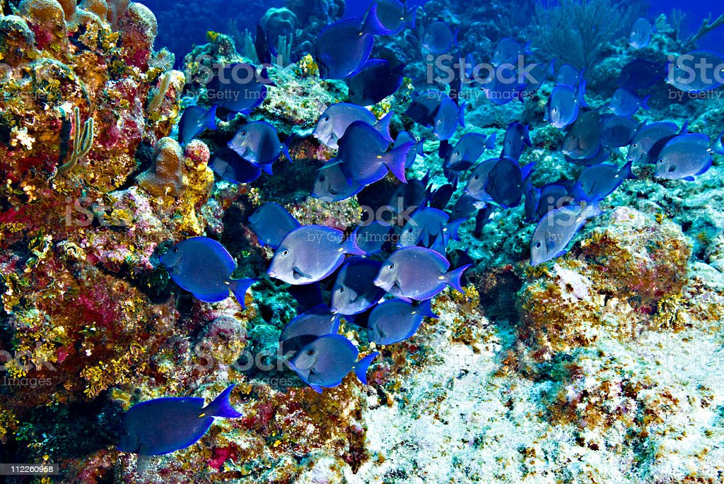 Tropical saltwater fish, Striated surgeonfish  blue tang stock photo