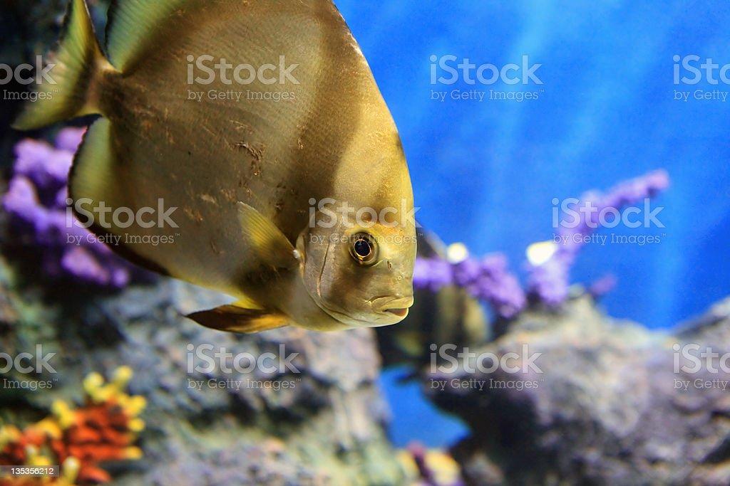 tropical sea fish in aquarium royalty-free stock photo