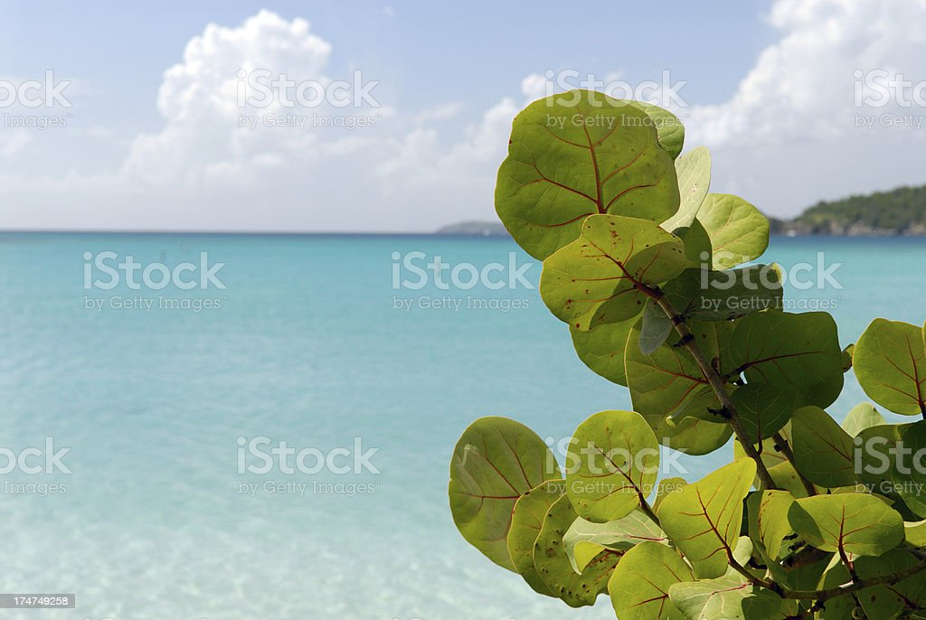 Tropical Seagrapes stock photo
