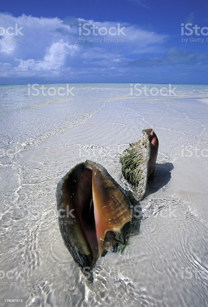 tropical shell in white beach royalty-free stock photo