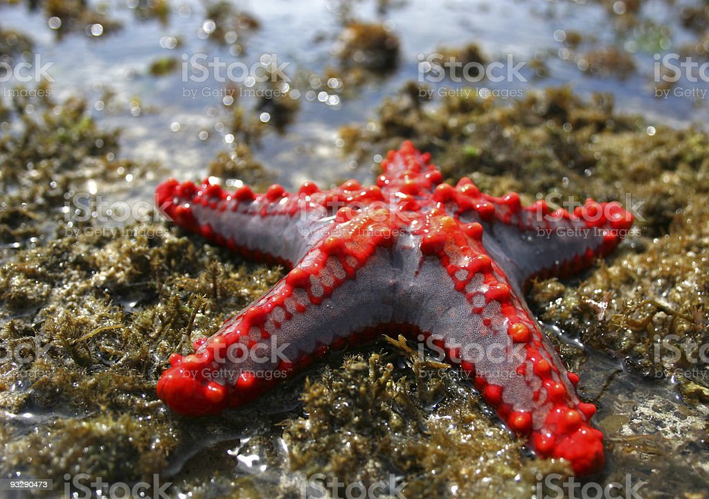 Tropical Starfish on a dry Reef, Kenya stock photo