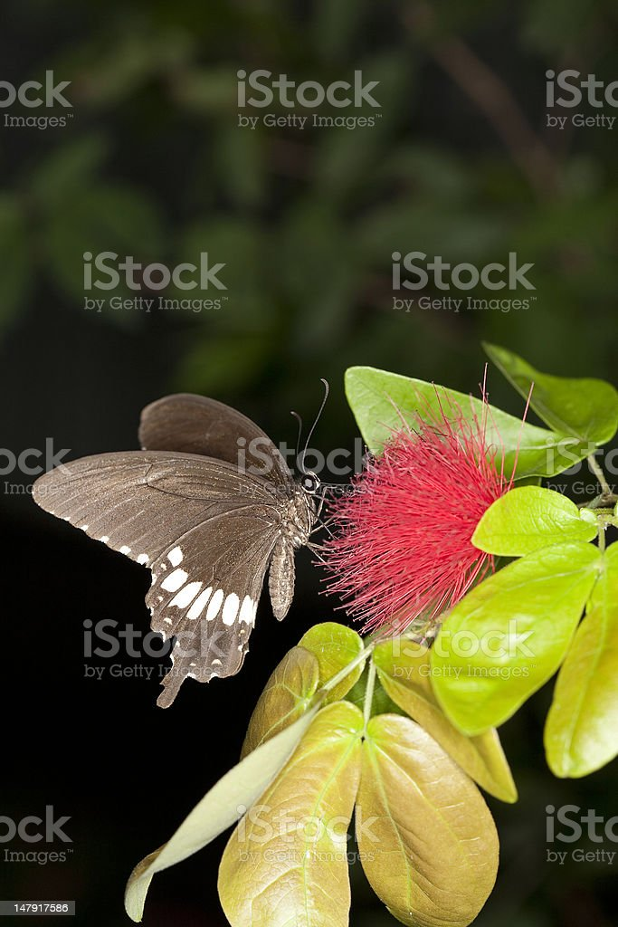 tropical swallowtail butterfly stock photo
