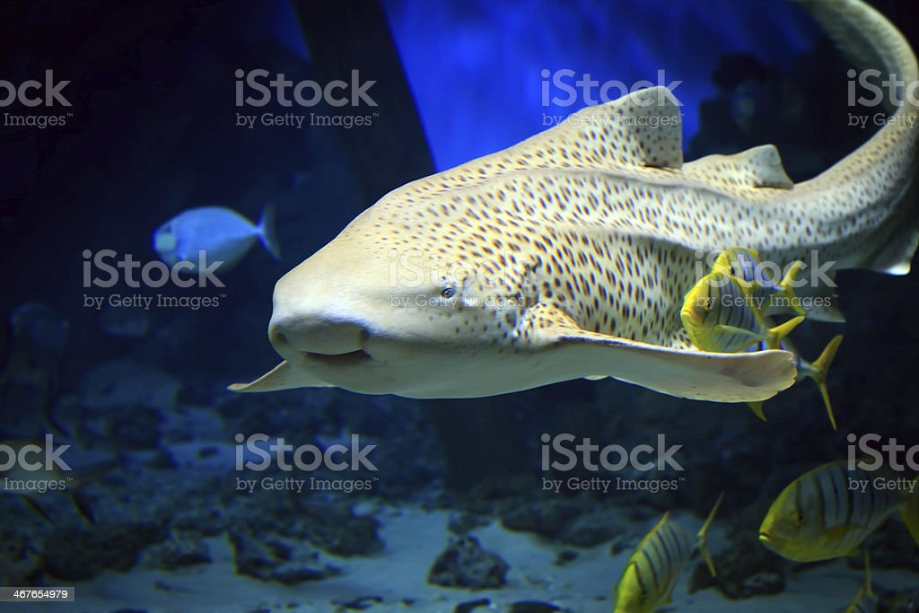 Tropical tiger shark swimming underwater stock photo