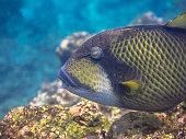 Tropical Titan Triggerfish (Balistoides viridescens) Territorial Reef Fish