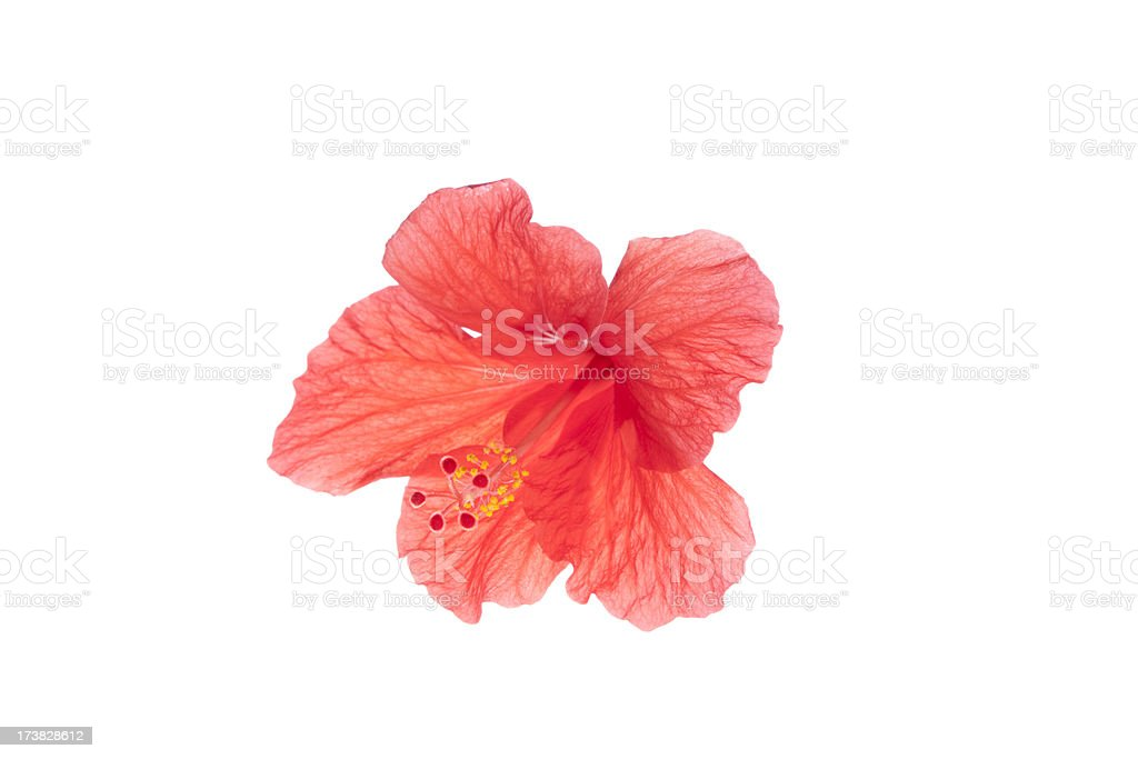 Tropical Translucent Hibiscus Flower, Isolated on White royalty-free stock photo