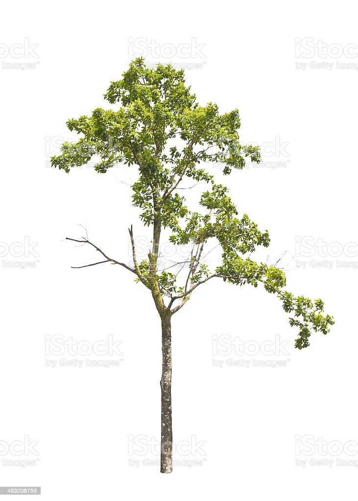 Tropical tree in asia. stock photo