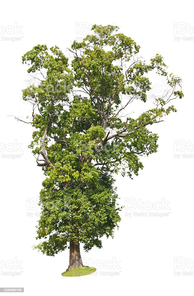 Tropical tree in asia stock photo