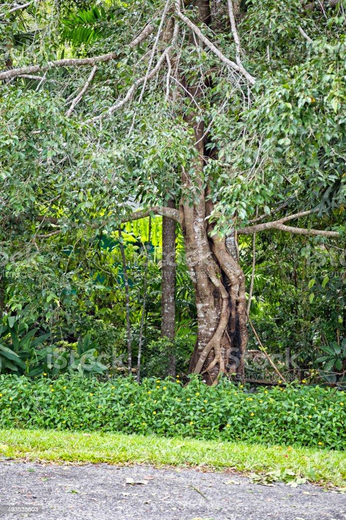 Tropical tree in Queensland, Australia stock photo