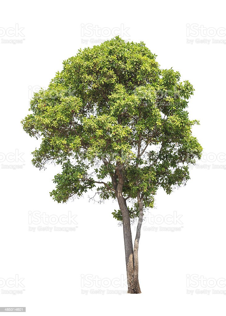 Tropical tree in Thailand isolated on white background stock photo