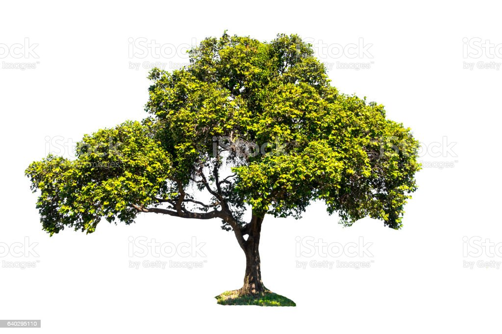 tropical tree in Thailand stock photo