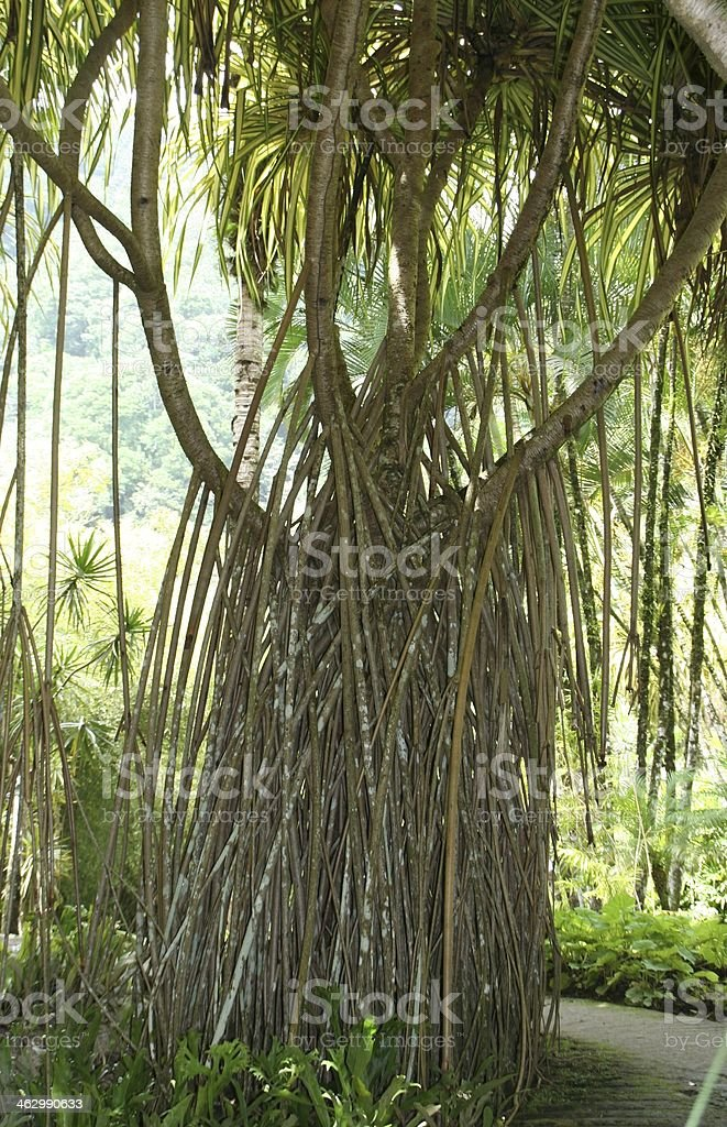 Tropical tree in the garden of Balata, Martinique. royalty-free stock photo