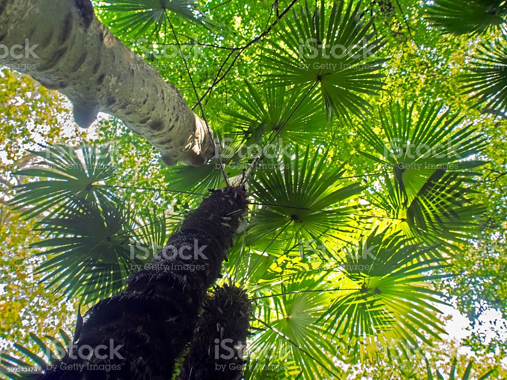 tropical tree view from below stock photo