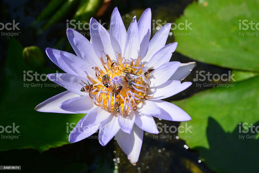 Tropical water-lily stock photo