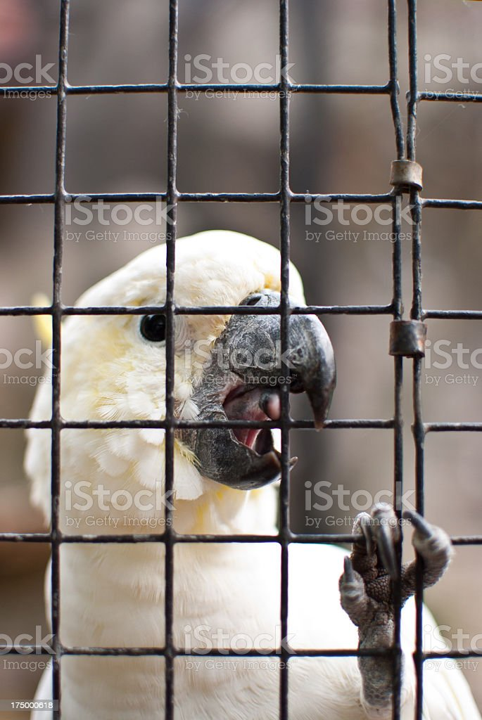 Tropical White Parrot Cockatoo royalty-free stock photo