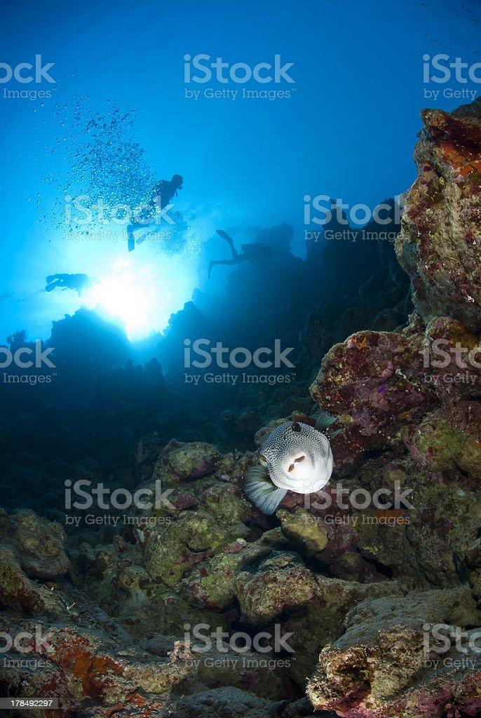 Tropical Whitespotted pufferfish (Arothron hispidus) with scuba stock photo