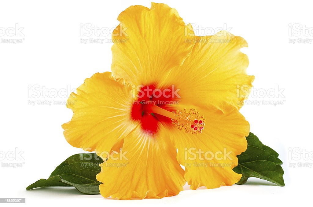 Tropical Yellow Hibiscus Flower isolated on white stock photo