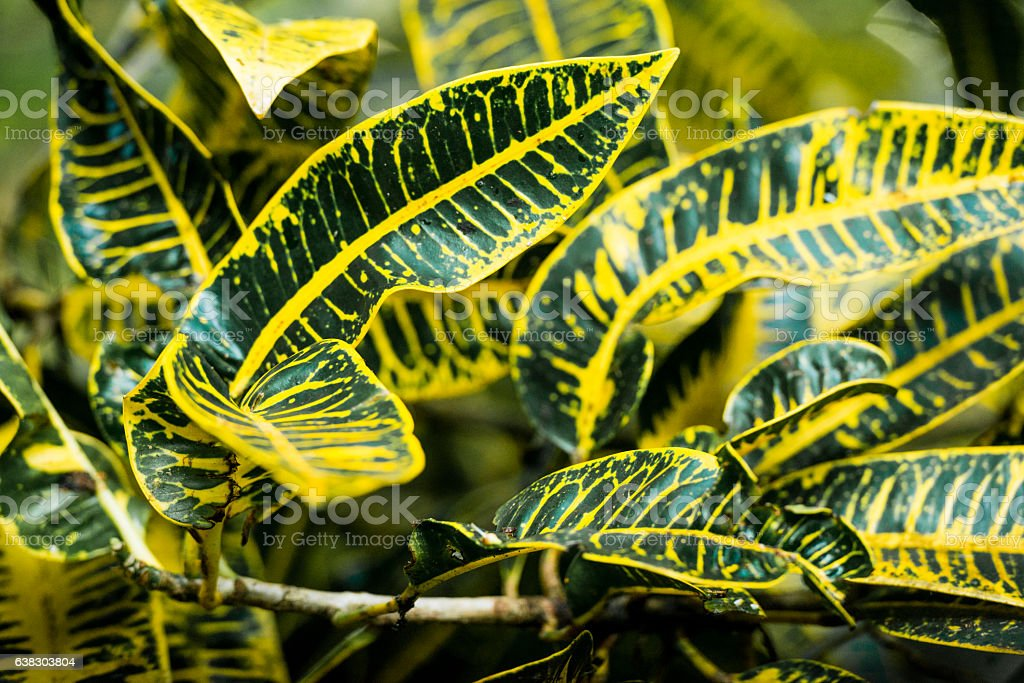 Tropical Yellow Veined Leaves of Croton Plant in Hawaii Rainforest stock photo