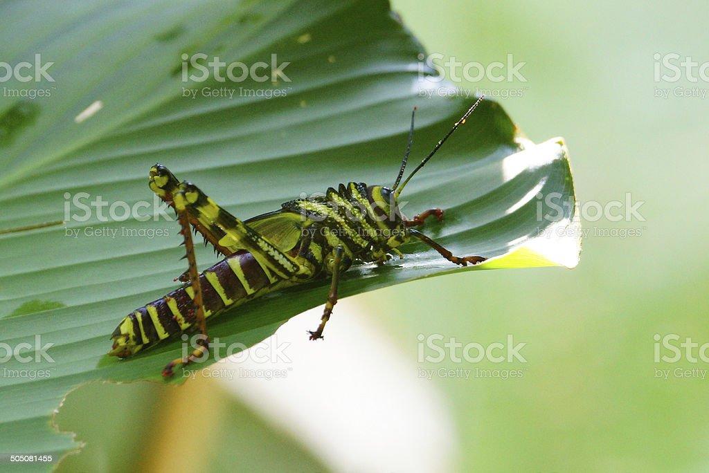 Tropidacris cristata - Juvenile stock photo