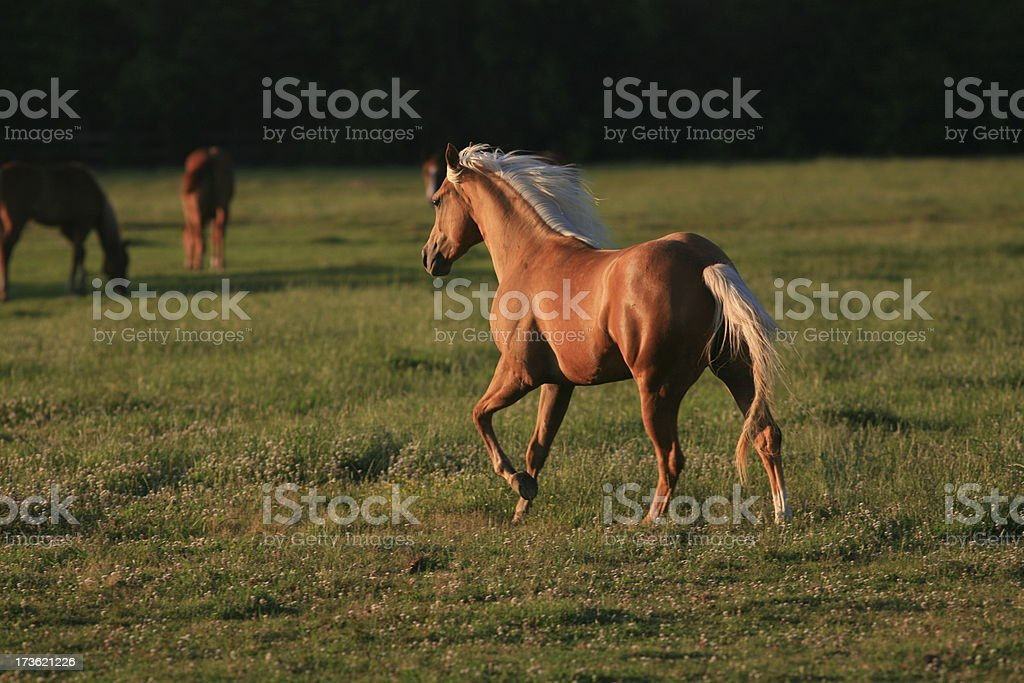 Trotting Palomino Horse stock photo