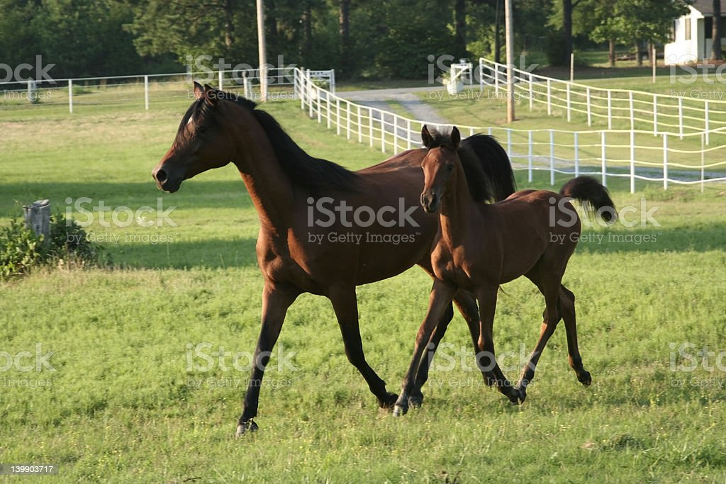Trotting together stock photo