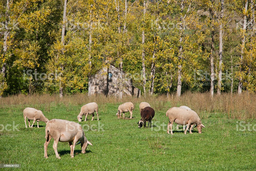 Troupeau de moutons stock photo