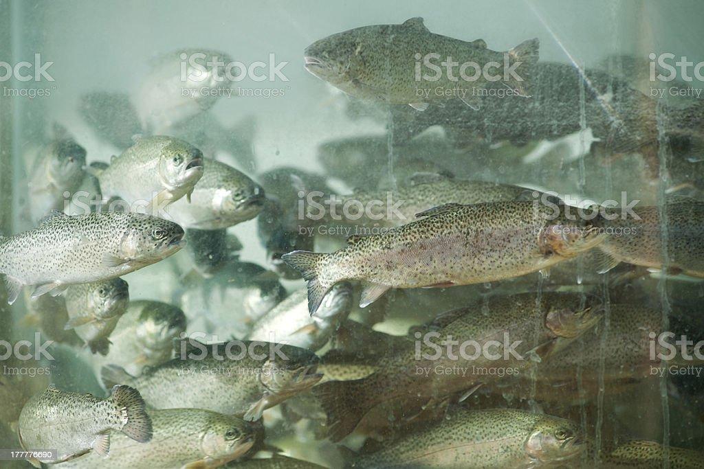 trout aquarium royalty-free stock photo