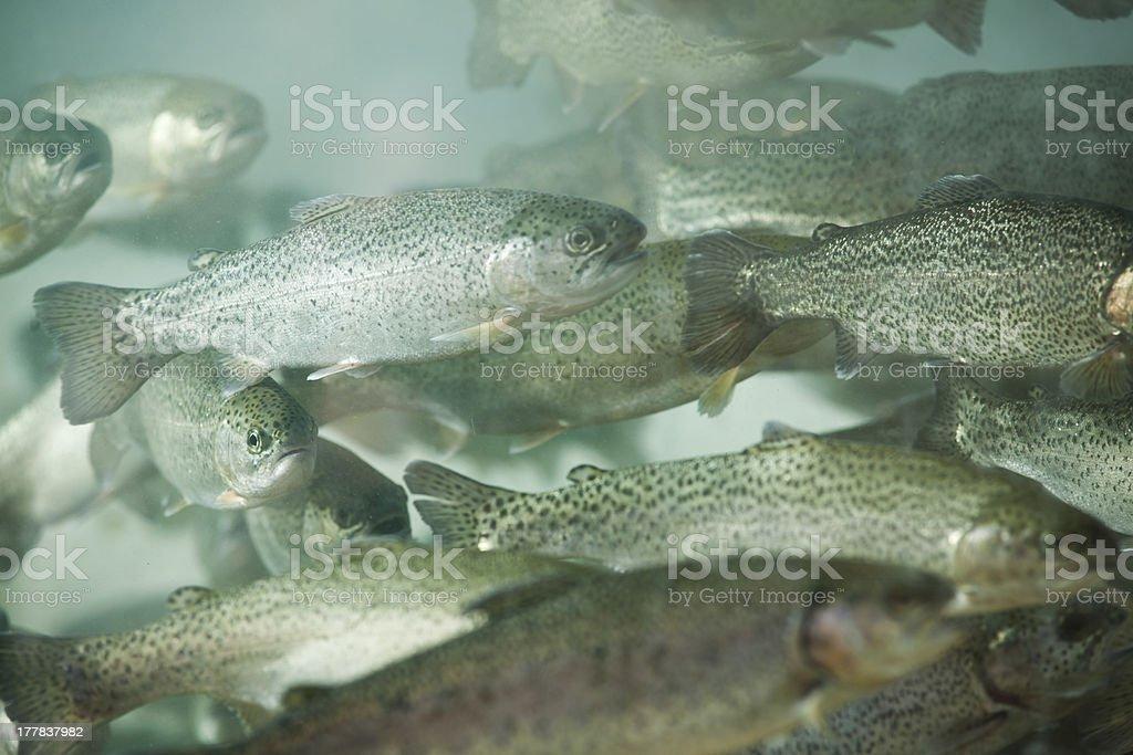 trout aquarium stock photo