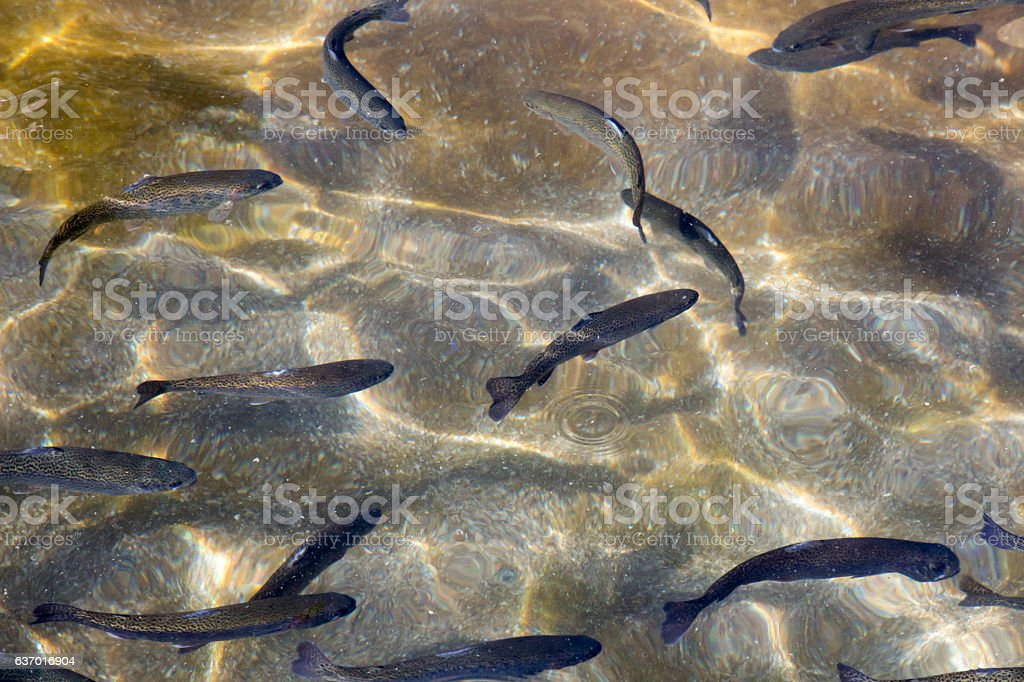 Trout at a fish farm stock photo