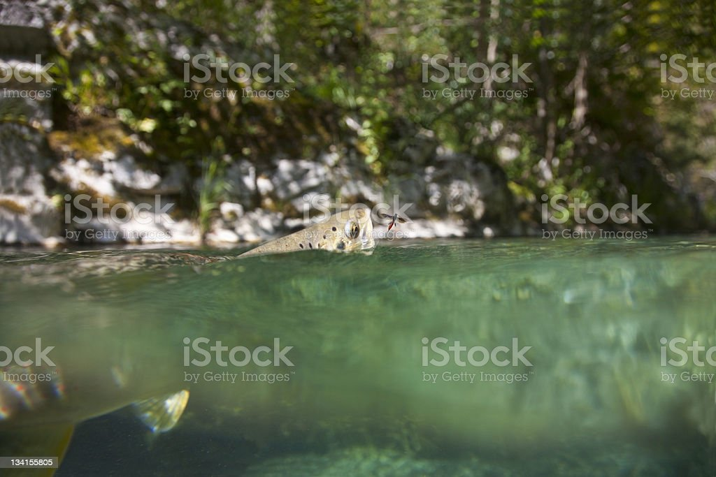 Trout catches a fly royalty-free stock photo