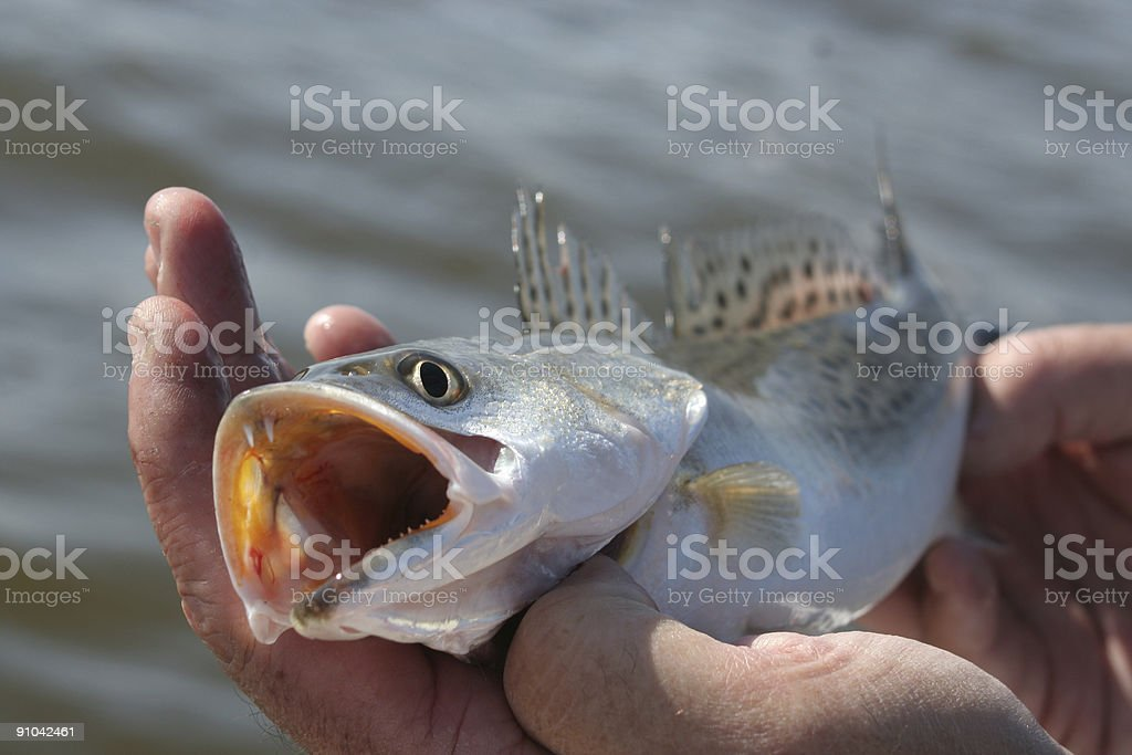 Trout Face stock photo