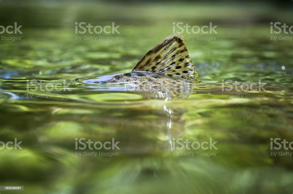 Trout fin stock photo