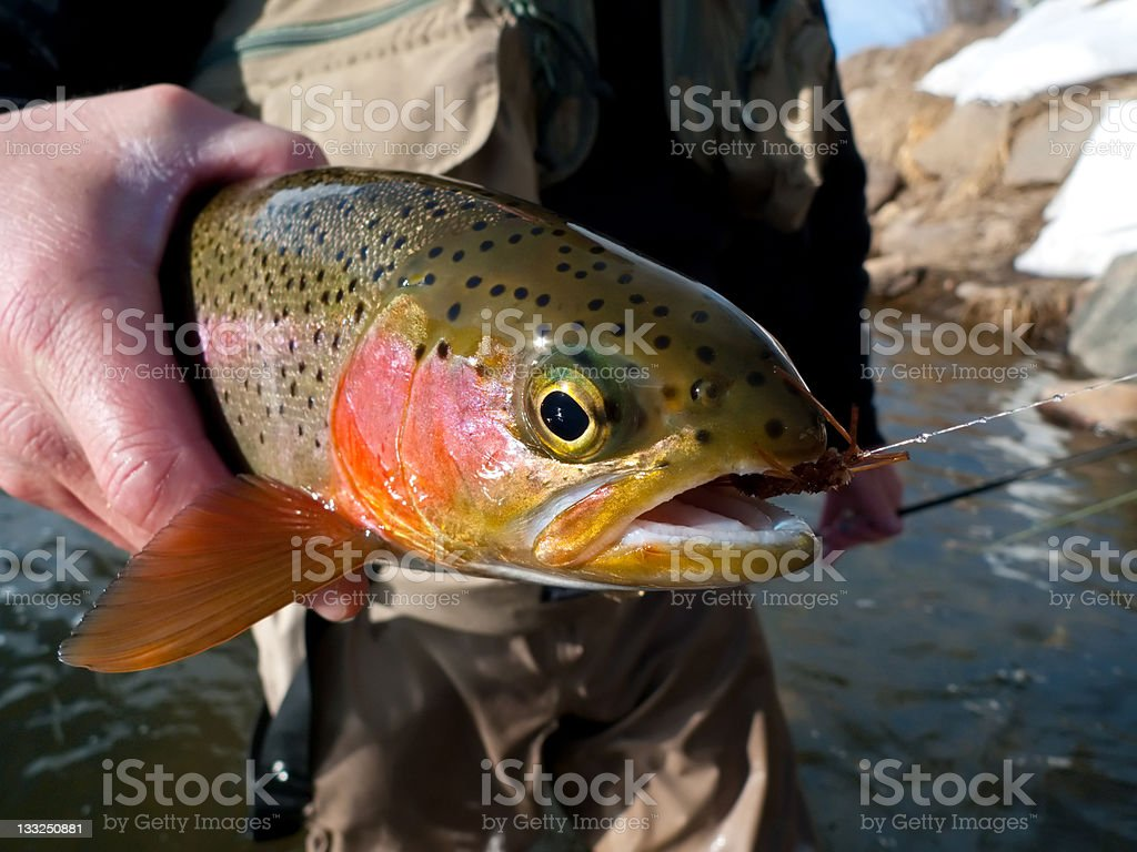 Trout Fish Closeup royalty-free stock photo