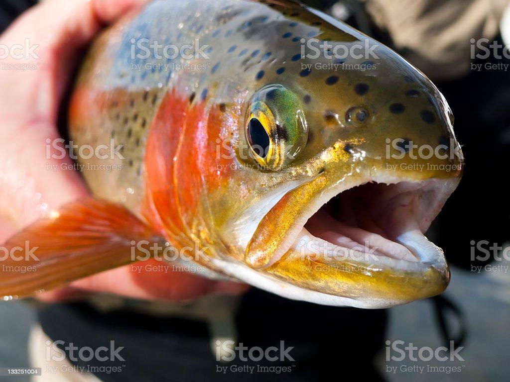 Trout Fish Closeup royalty-free stock photo