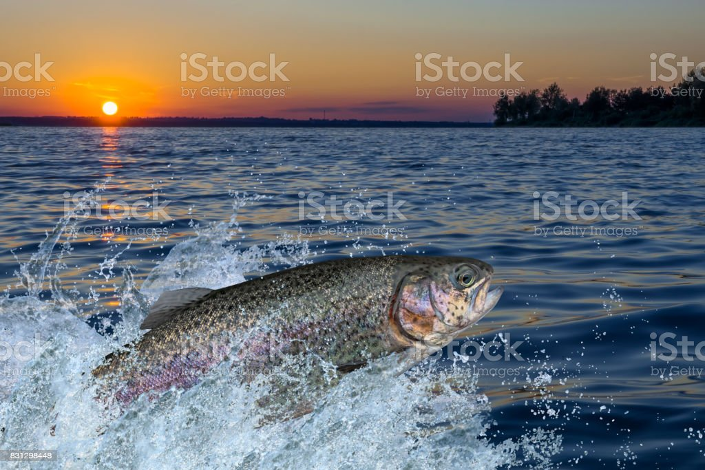 Trout fish jumping with splashing in water stock photo