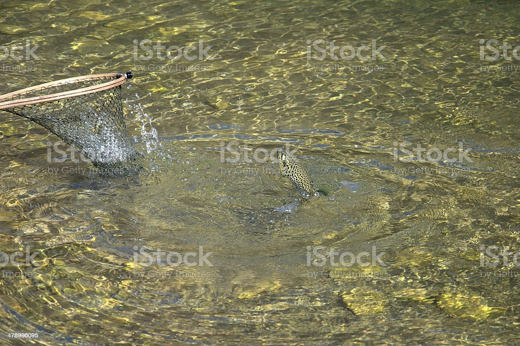Trout in net2 royalty-free stock photo