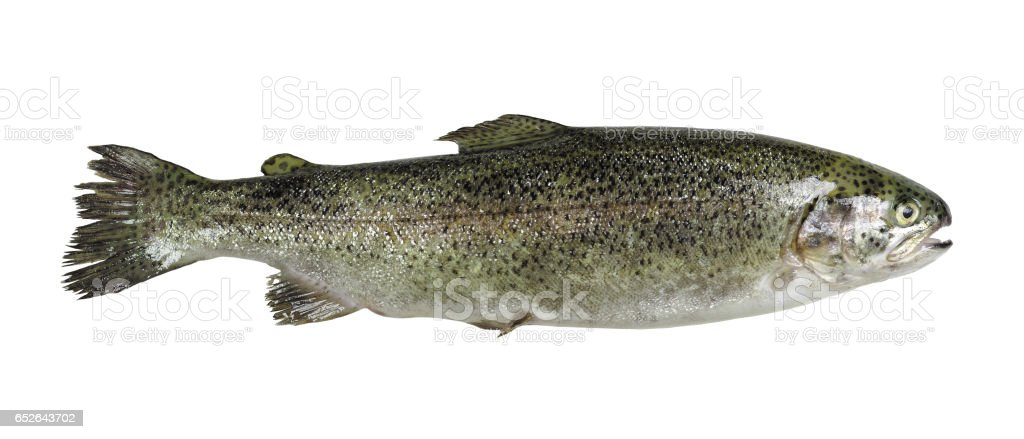 Trout isolated on white background stock photo
