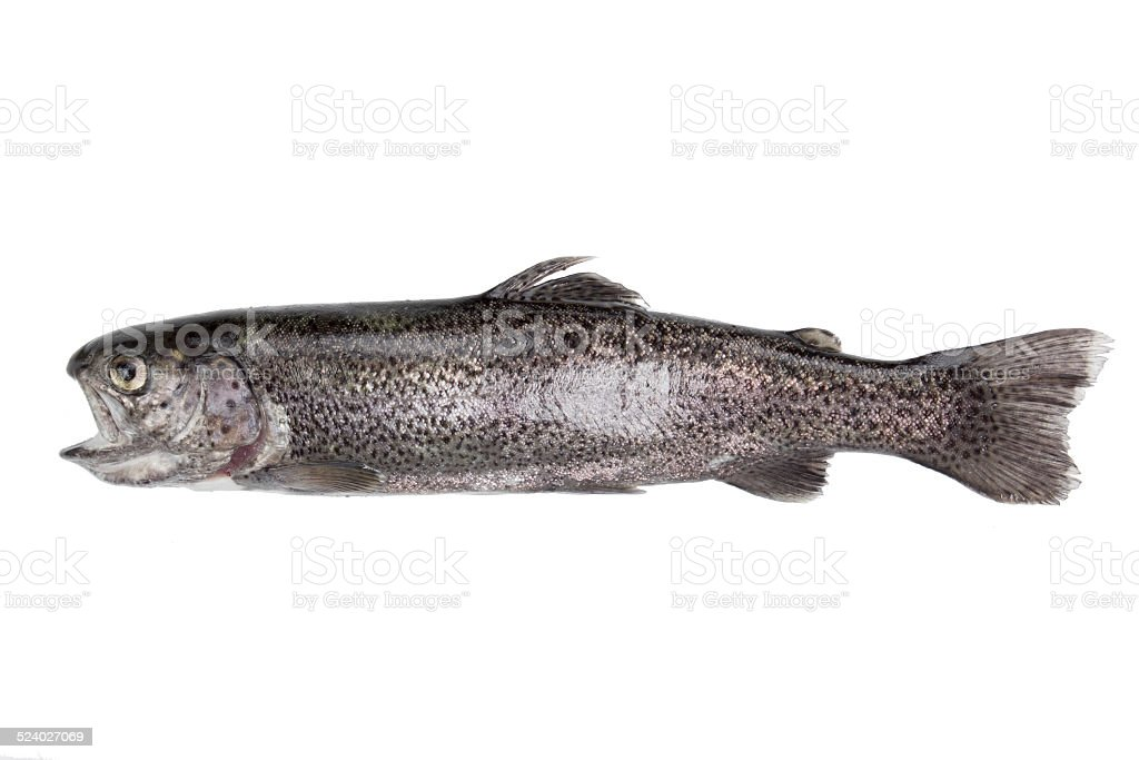 trout isolated stock photo