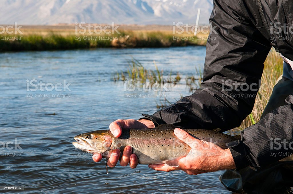 Trout Release stock photo