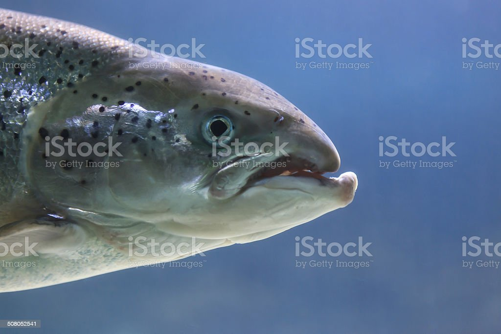 Trout swimming around royalty-free stock photo