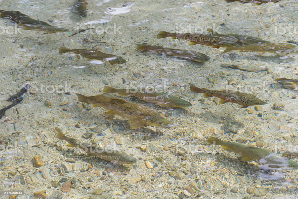 Trout that swim the river in the herd stock photo